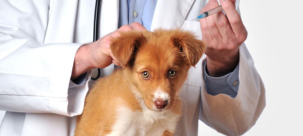 Hund auge herpes Herpeskeratitis der