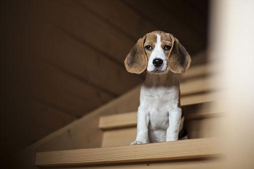 darf ein junger hund treppen steigen. Black Bedroom Furniture Sets. Home Design Ideas